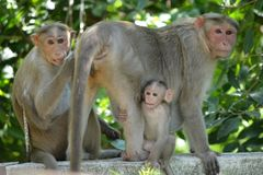 Monkey. Cute Infant monkey with his family stock photos