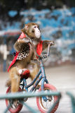 Monkey cycling  of circus Stock Image