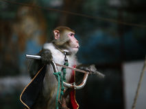Monkey cycling  of circus. The monkey  of circus in a zoo Royalty Free Stock Photo
