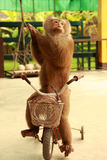 Monkey cyclist Royalty Free Stock Images