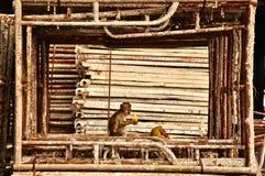 Monkey dans un cadre métallique mangeant de la nourriture préférée Photos libres de droits