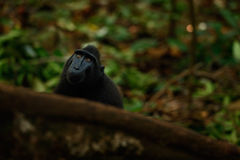 Monkey in dark forest. Celebes crested Macaque, Macaca nigra, black monkey with open mouth with big tooth, sitting in the nature h Royalty Free Stock Image