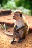 Monkey das Sitzen auf dem Felsen Stockfoto