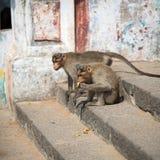 Affen essen Bananen Lizenzfreie Stockfotografie
