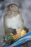 Monkey das Essen einer Ananas Stockfoto