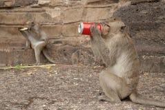 Monkey das Trinken. Stockfoto
