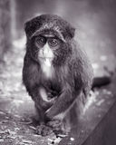 Monkey de Baby De Brazza II Fotografía de archivo libre de regalías