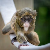 Monkey de Baby De Brazza's VI Photographie stock libre de droits