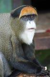 Monkey de Brazza's Στοκ Φωτογραφίες