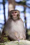 Monkey from Dharamshala town. Royalty Free Stock Photos
