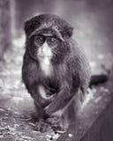 Monkey di Baby De Brazza II Fotografia Stock Libera da Diritti