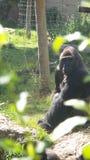 Monkey di modello Fotografia Stock