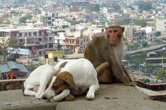 Monkey and dog in India Royalty Free Stock Images
