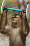 Monkey doing sports. Closeup of monkey lifting dumbbell. Appears to be strong, focused and happy at the same time Stock Photography