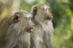 Monkey double Royalty Free Stock Photo
