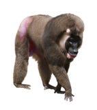 Monkey Drill Royalty Free Stock Photo