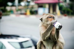 Monkey. Drink milk on wall royalty free stock photography