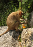 Monkey drinking aerated soft drink Stock Images