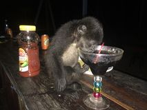 Monkey drinking. From cocktail Royalty Free Stock Image