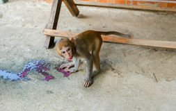 Monkey drinking red nectar. Stock Photo