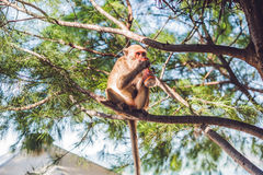 Monkey drinking soda on a tree branch.  stock photography