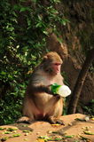 Monkey drinking Stock Photos