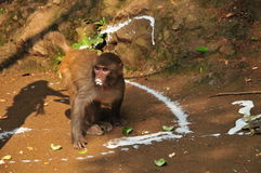 Monkey drinking Royalty Free Stock Photo