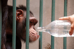 Monkey drinking water Royalty Free Stock Photography