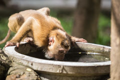 Monkey drinking water from cement pond Stock Images