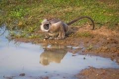 Monkey drinking water Stock Photos