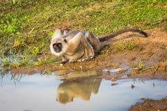Monkey drinking water Stock Photo