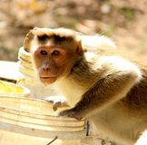 Monkey is drinking water. In the bucket and looking to the camera royalty free stock photo