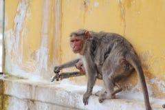 Monkey drinking water Stock Image