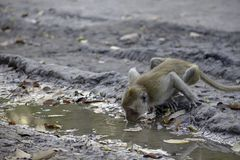 Monkey drinking water in puddles on the ground stock image