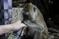 Monkey drinks from human hands Stock Photo