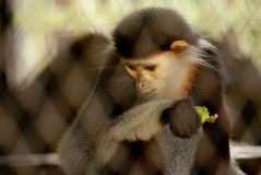 Monkey in dusit zoo, Thailand Royalty Free Stock Photo