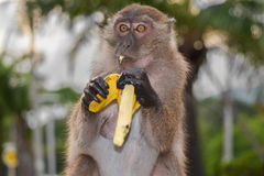 Monkey eat banana. Little monkey eat yellow banana stock photo