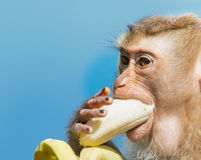Monkey eat banana. Long-tailed Macaque Monkey eat banana / close up stock photography