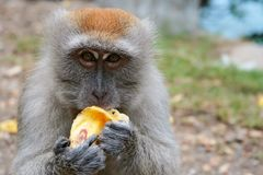 Monkey eat banana. At near Teluk Bayur, west Sumatera, Indonesia stock photography
