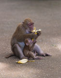 Monkey eat banana. Two monkey eat banana on the floor stock image
