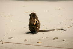 Monkey eat banana very happy. Stock Images