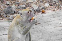 Monkey eat bread nature in Thailand Closeup.  stock image