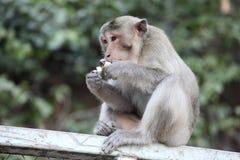 A monkey eat egg. Stock Image