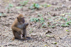 Monkey eat food Stock Photography