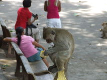 Monkey eat food. The money eat food in Thailand Royalty Free Stock Photo
