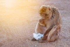 Monkey eat food Stock Photos