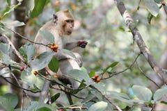 monkey eat food on tree in thailand Stock Photos