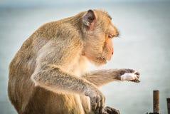 Monkey eat ice cream. Close up a monkey eating ice cream while sitting Royalty Free Stock Photos