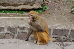 Monkey eat beside road. Monkey eat in park road Royalty Free Stock Images