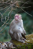 Monkey eat Royalty Free Stock Photography